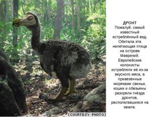 ДРОНТ Пожалуй, самый известный истреблённый вид. Обитала эта нелетающая птица