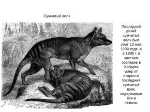 Сумчатый волк Последний дикий сумчатый волк был убит 13 мая 1930 года, а в 19