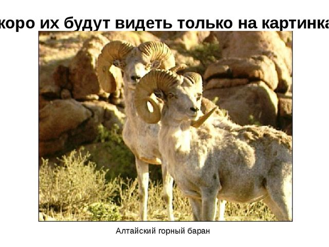 Скоро их будут видеть только на картинках Алтайский горный баран