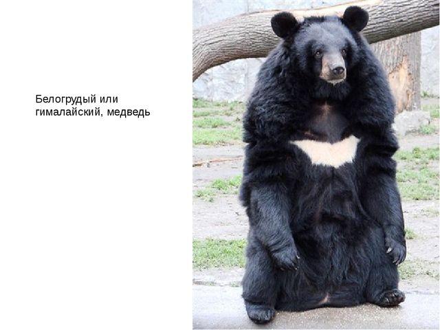 Белогрудый или гималайский, медведь
