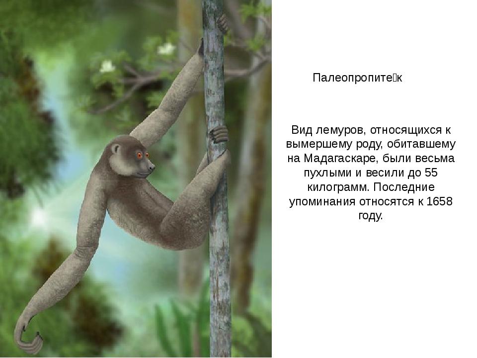 Палеопропите́к Вид лемуров, относящихся к вымершему роду, обитавшему на Мадаг...