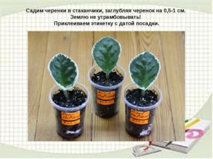 Садим черенки в стаканчики, заглубляя черенок на 0,5-1 см. Землю не утрамбовы