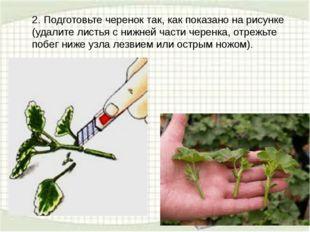 2. Подготовьте черенок так, как показано на рисунке (удалите листья с нижней