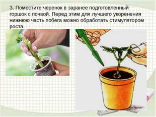 3. Поместите черенок в заранее подготовленный горшок с почвой. Перед этим для