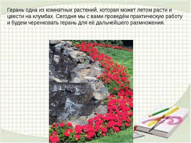 Герань одна из комнатных растений, которая может летом расти и цвести на клум...