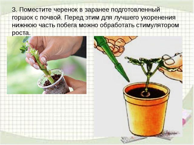 3. Поместите черенок в заранее подготовленный горшок с почвой. Перед этим для...