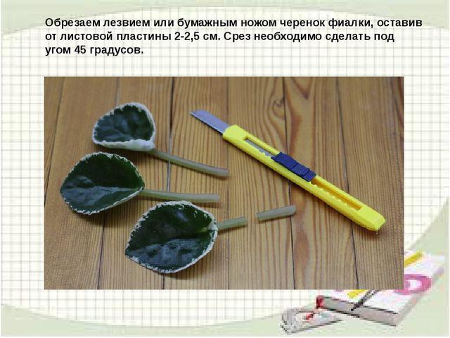 Обрезаем лезвием или бумажным ножом черенок фиалки, оставив от листовой пласт...