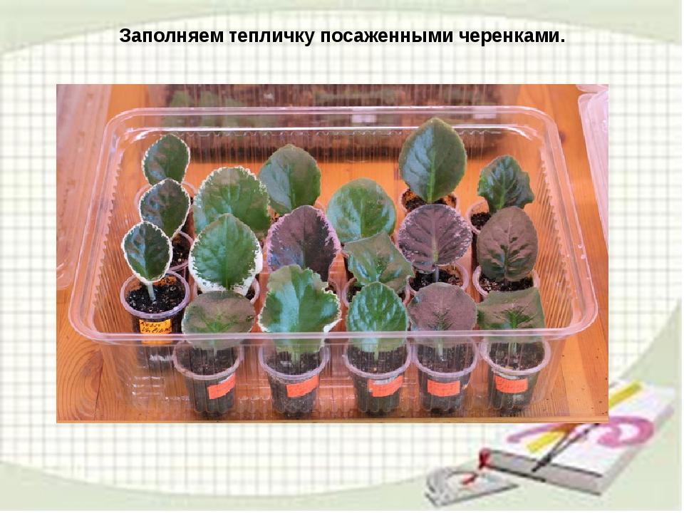 узамбарская фиалка или сенполия Img14