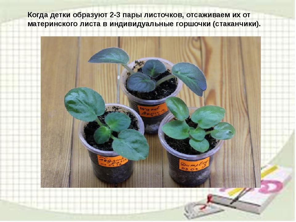 узамбарская фиалка или сенполия Img17