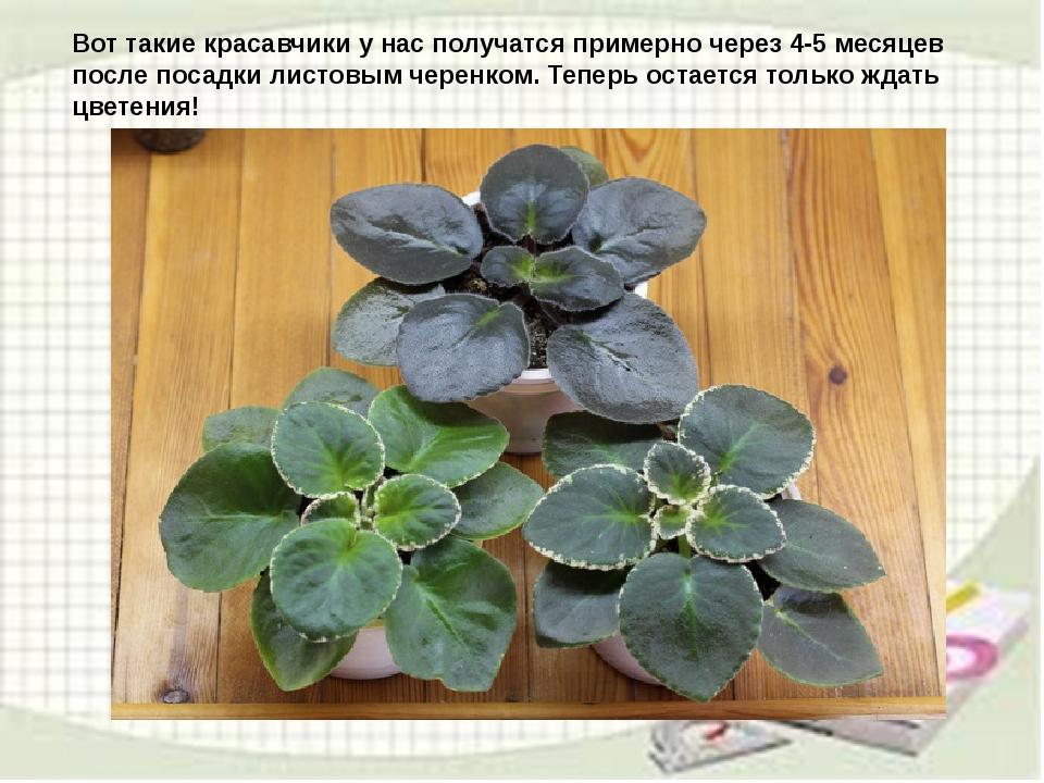 узамбарская фиалка или сенполия Img19