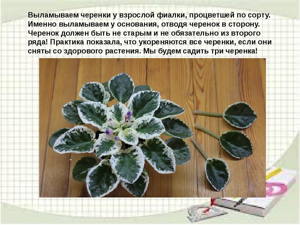 узамбарская фиалка или сенполия Img5