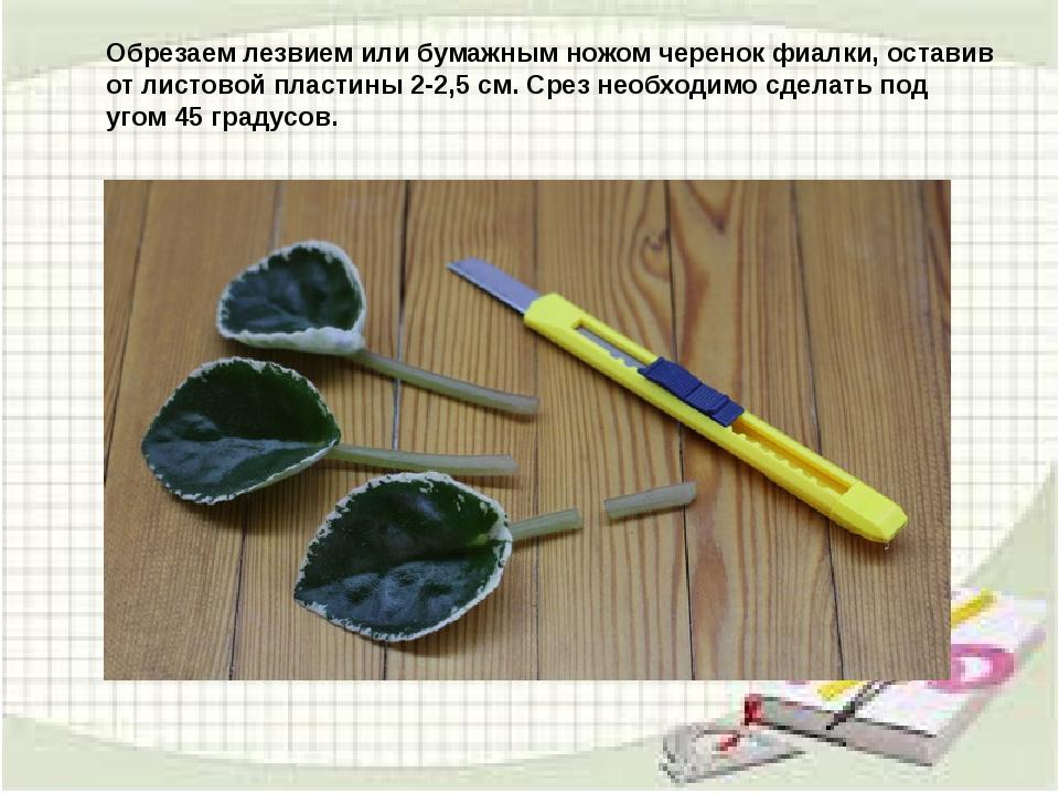 узамбарская фиалка или сенполия Img6