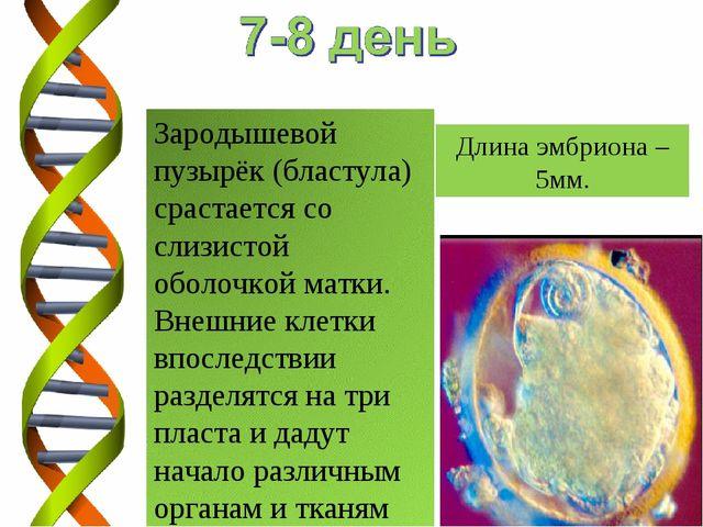 Длина эмбриона – 5мм.