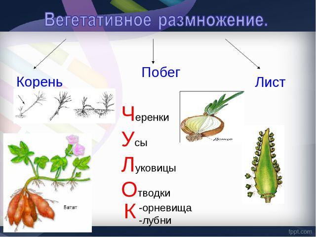 Корень Побег Лист Черенки Усы Луковицы Отводки -орневища -лубни К