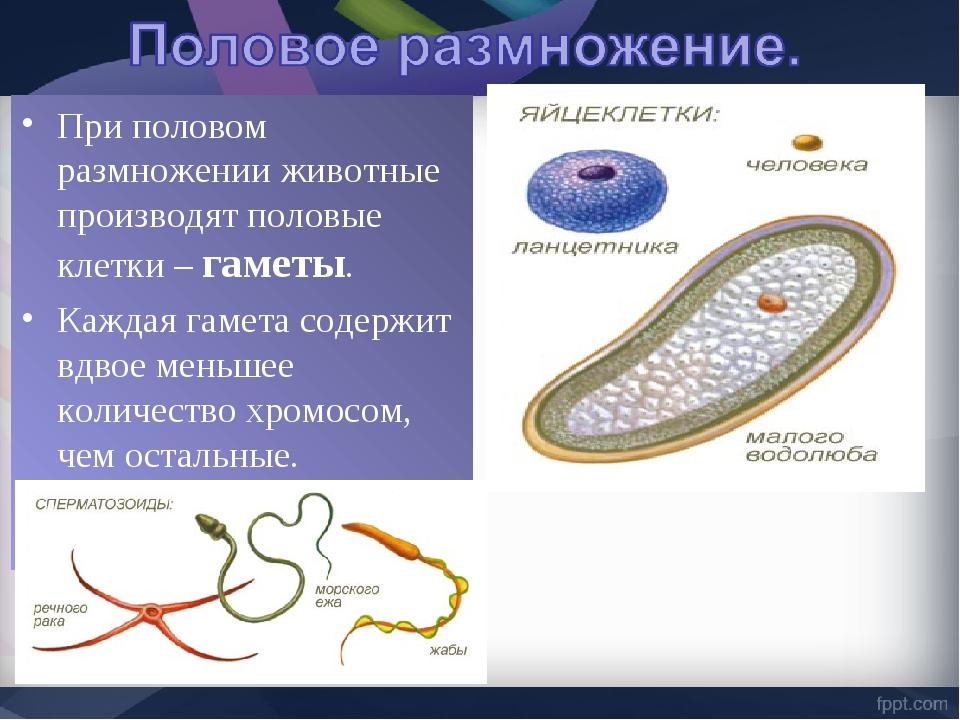 При половом размножении животные производят половые клетки – гаметы. Каждая г...