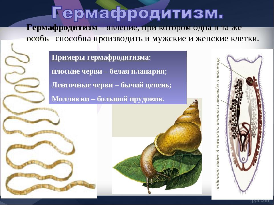 Примеры гермафродитизма: плоские черви – белая планария; Ленточные черви – бы...