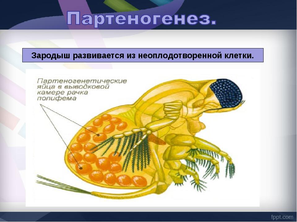 Зародыш развивается из неоплодотворенной клетки.