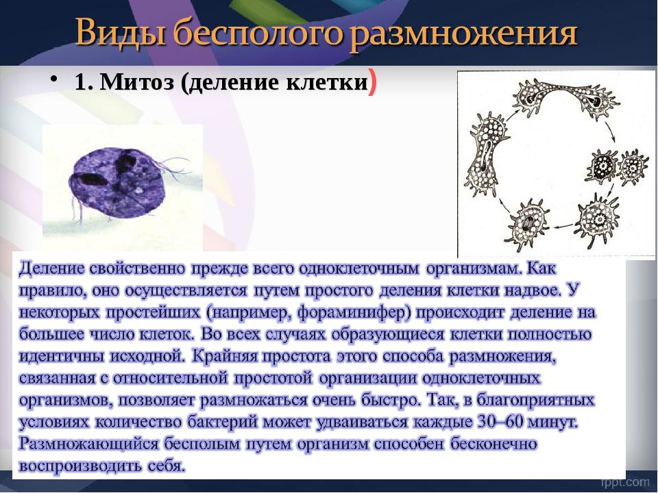 1. Митоз (деление клетки)