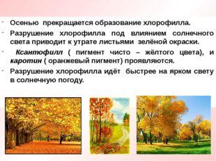 Осенью прекращается образование хлорофилла. Разрушение хлорофилла под влияние