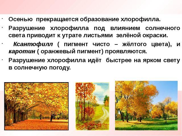 Осенью прекращается образование хлорофилла. Разрушение хлорофилла под влияние...