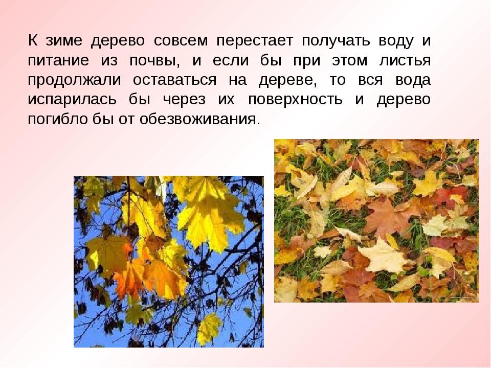 К зиме дерево совсем перестает получать воду и питание из почвы, и если бы пр...