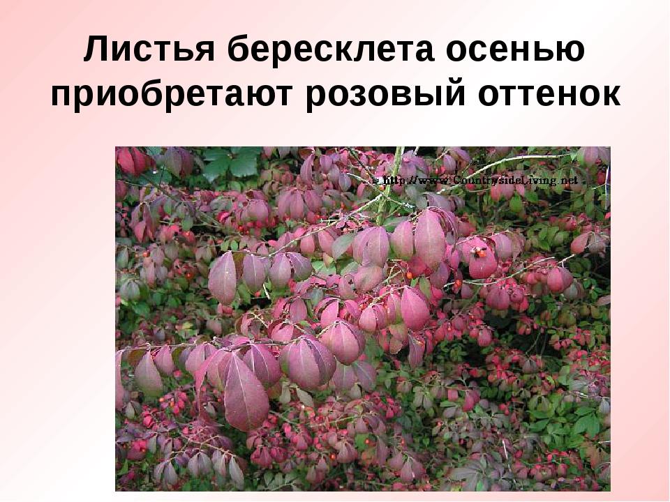 Листья бересклета осенью приобретают розовый оттенок