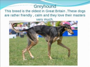 Greyhound This breed is the oldest in Great Britain .These dogs are rather f