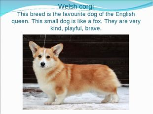 Welsh corgi This breed is the favourite dog of the English queen. This small