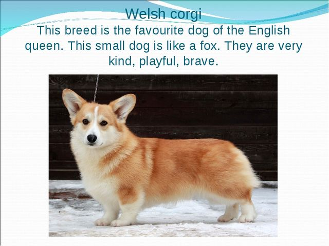 Welsh corgi This breed is the favourite dog of the English queen. This small...