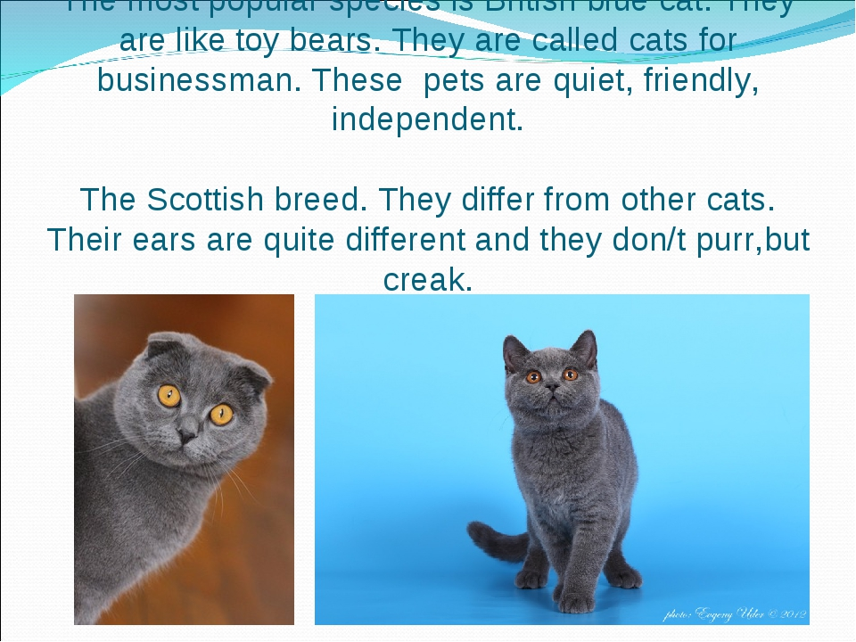 The most popular species is British blue cat. They are like toy bears. They a...