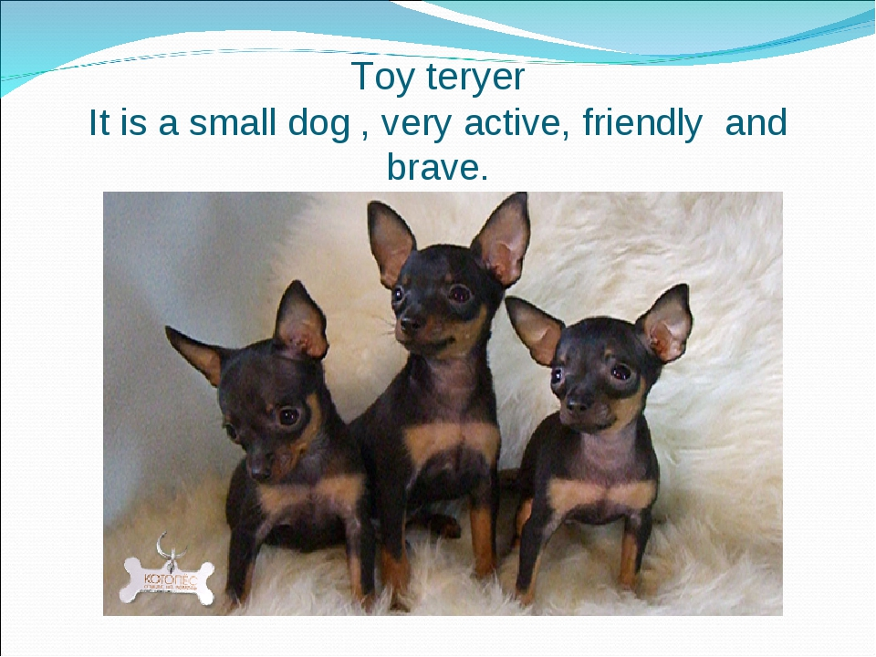 Toy teryer It is a small dog , very active, friendly and brave.