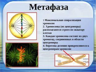 Метафаза 1 Максимальная спирализация хромосом 2. Хромосомы (их центромеры) ра