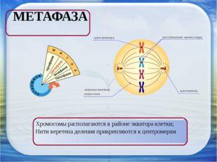 МЕТАФАЗА Хромосомы располагаются в районе экватора клетки; Нити веретена деле