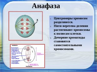 Анафаза Центромеры хромосом разделяются. Нити веретена деления растягивают хр