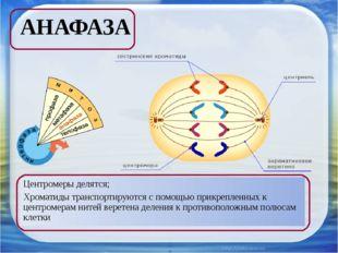 АНАФАЗА Центромеры делятся; Хроматиды транспортируются с помощью прикрепленны