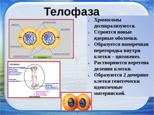 Телофаза Хромосомы деспирализуются. Строятся новые ядерные оболочки. Образует