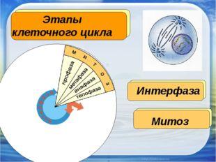 Этапы клеточного цикла Интерфаза Митоз