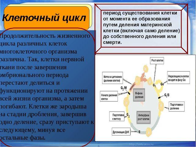Клеточный цикл Продолжительность жизненного цикла различных клеток многоклето...