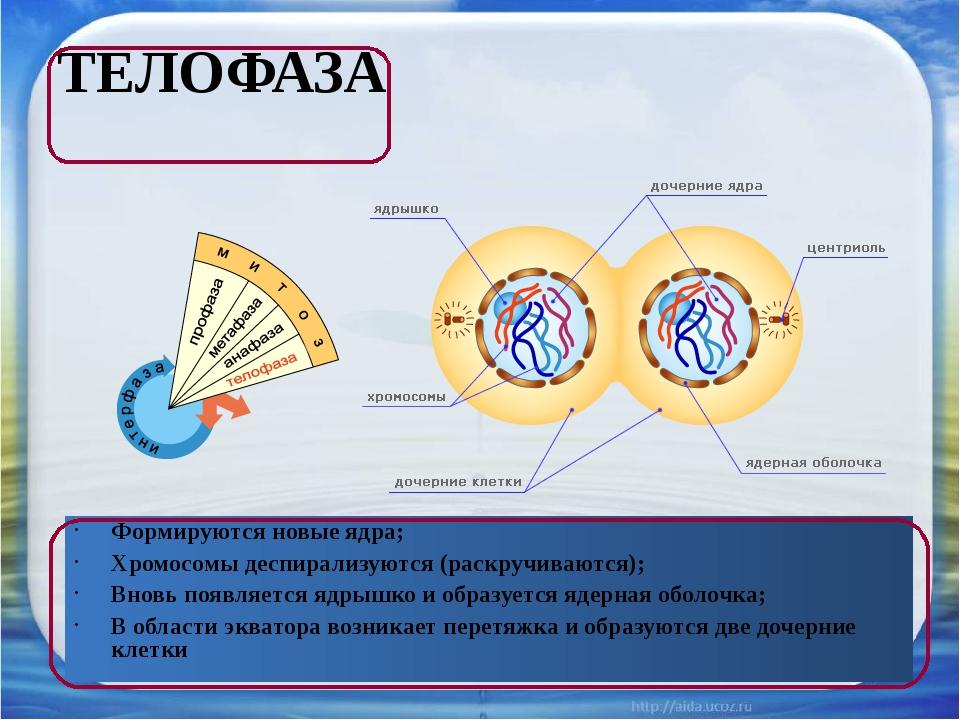 ТЕЛОФАЗА Формируются новые ядра; Хромосомы деспирализуются (раскручиваются);...