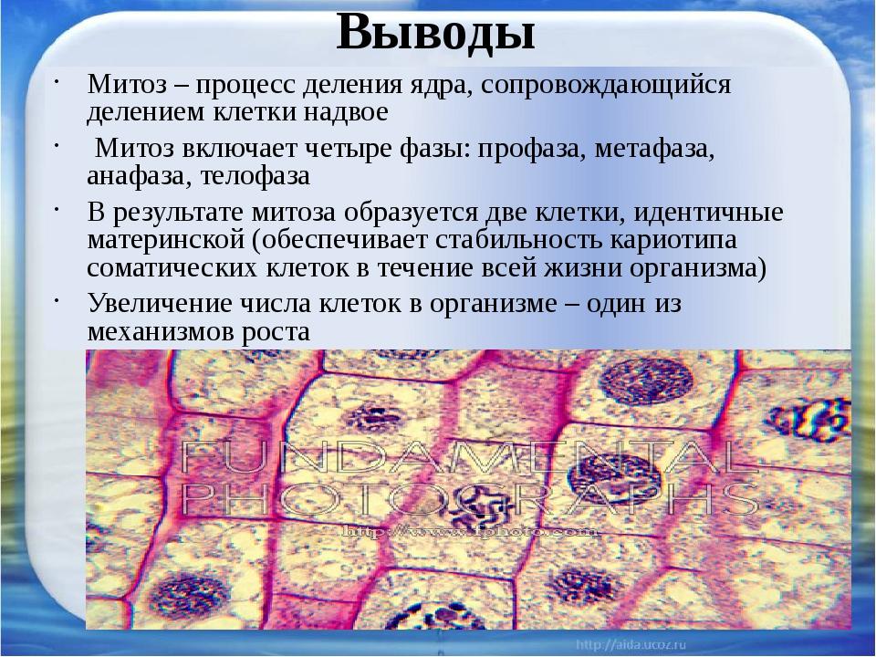 Выводы Митоз – процесс деления ядра, сопровождающийся делением клетки надвое...