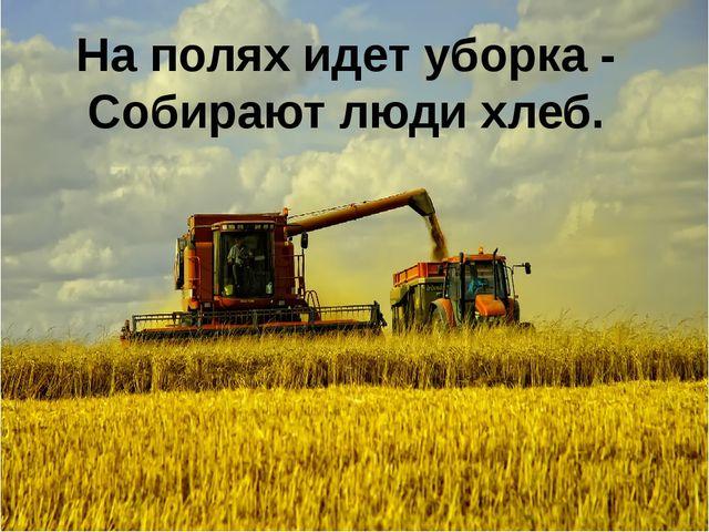 На полях идет уборка - Собирают люди хлеб.
