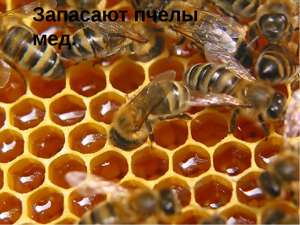 Запасают пчелы мед.