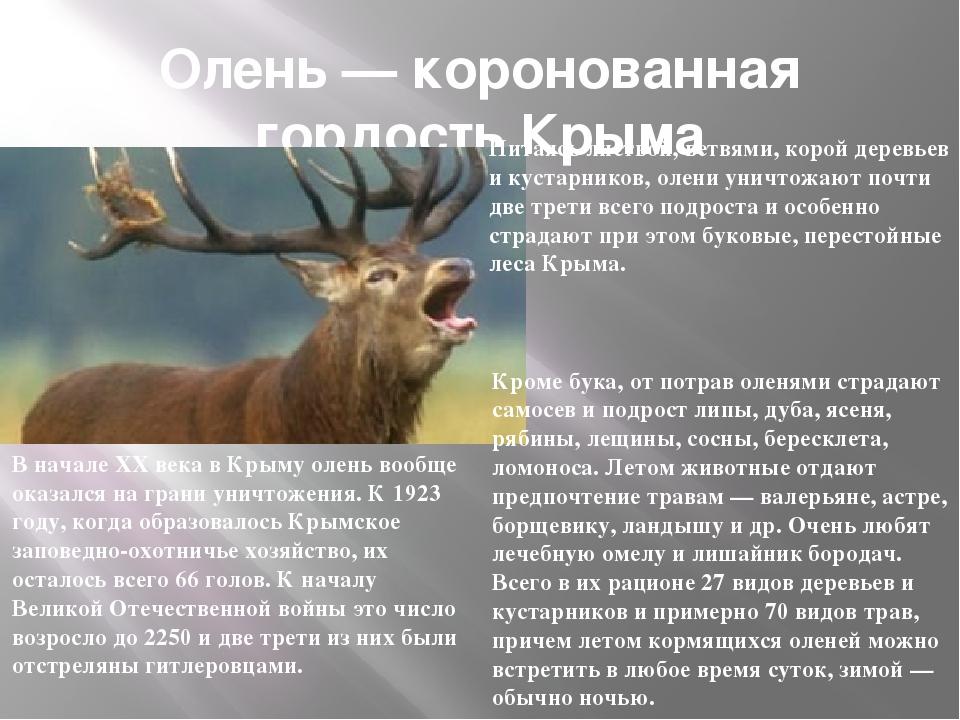 Олень — коронованная гордость Крыма В начале XX века в Крыму олень вообще ока...