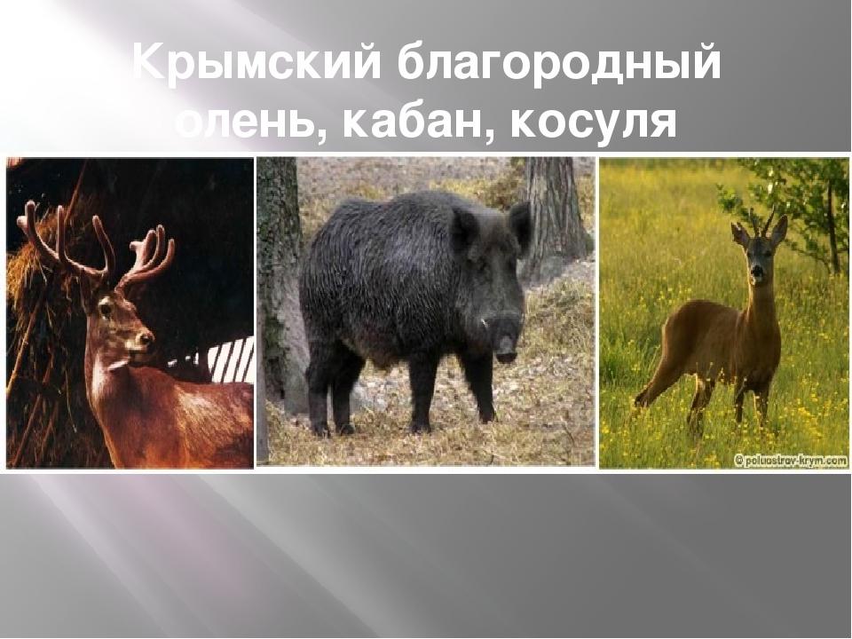 Крымский благородный олень, кабан, косуля