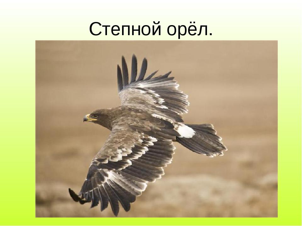 Степной орёл.