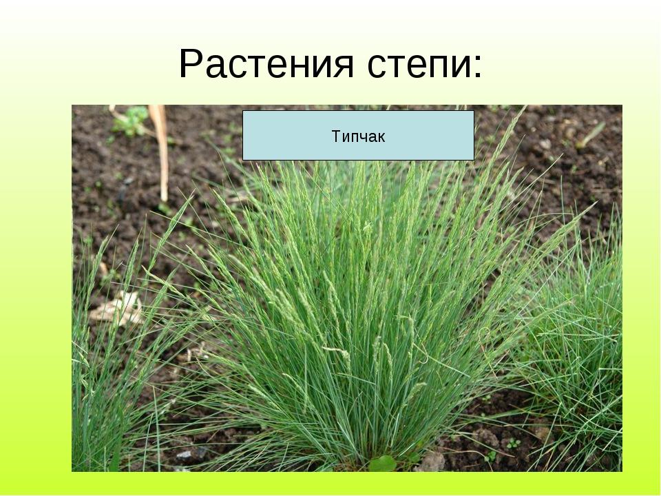 Растения степи: Тюльпан Ирис Ковыль Типчак
