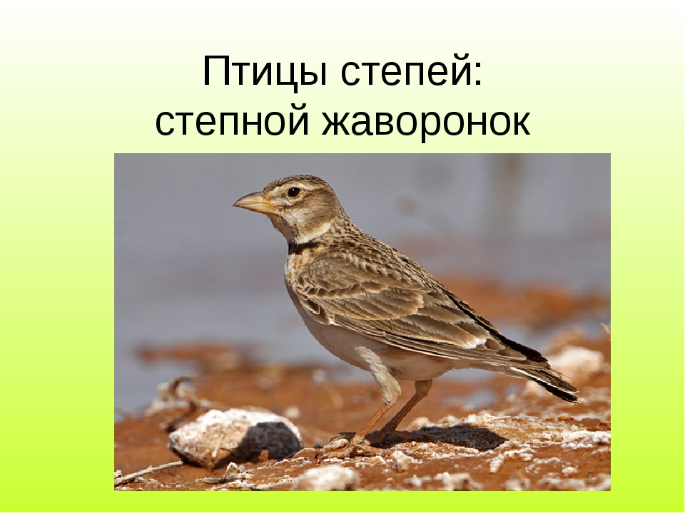 Птицы степей: степной жаворонок