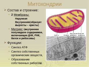 Вакуоли: строение Крупные характерны для растительных клеток; Мешочки заполне