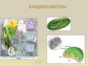 Функции: регулируют осмотическое давление в клетке Накапливают вещества ( пиг