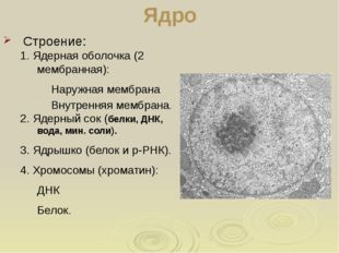 Ядро Строение: 1. Ядерная оболочка (2 мембранная): Наружная мембрана Внутренн